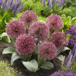 Bawang hiasan Nevskianum - Allium nevskianum -