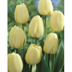 Tulip Ivory Floradale 5 pcs Pack