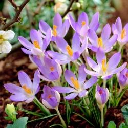 Crocus Lilac Beauty - 10 db. -