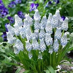 Hroznová hyacint Muscari Peppermint - op. 10 ks. -