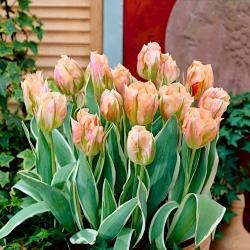 """Tulipán """"China Town"""" - paquete de 5 piezas"""