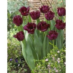 """Тюльпан """"Горилла"""" - бахромой (Криспа) - 5 штук в упаковке"""