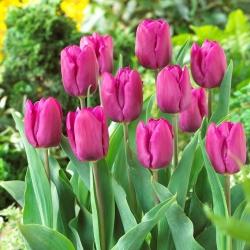 """Тюльпан """"Фиолетовый принц"""" - 5 штук в упаковке"""
