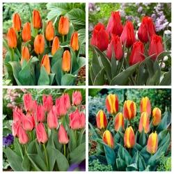 Greig's tulips – set of 4 varieties - 40 pcs.