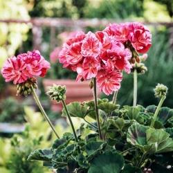 "Pelargonium ""Raspberry Ripple"" - roosa-oranž punaste täppidega; Geranium, Storksbill - 6 seemnet - Pelargonium x hortorum - seemned"