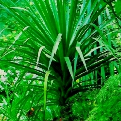 Canary Islands Dragon Tree, Dragon Tree seeds - Dracaena draco - 5 seeds