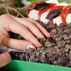 "Microgreens - kemangi merah manis ""Dark Opal"" - daun muda dengan rasa luar biasa - biji 1950 - Ocimum basilicum"