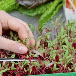 Microgreens - Mangold - daun muda dengan rasa luar biasa - 450 biji - Beta vulgaris var. vulgaris