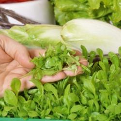 Microgreens - Endive - daun muda dengan rasa luar biasa - 2160 biji -