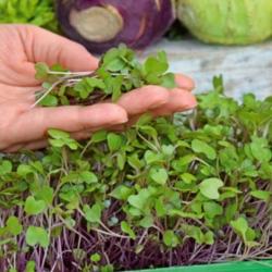 Microgreens - Kohlrabi - daun muda dengan rasa luar biasa - 1040 biji - Brassica oleracea var. Gongylodes L.