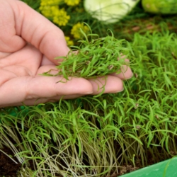 Eneldo - Microgreens - 1680 semillas - Anethum graveolens L.