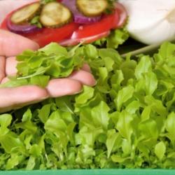 Microgreens - Lechuga verde - 1350 semillas - Lactuca sativa