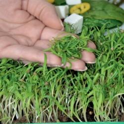 Espinaca - Microgreens - 800 semillas - Spinacia oleracea L.