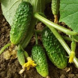 "Cucumber ""Sremski F1"" - 100 g - 3500 seeds"