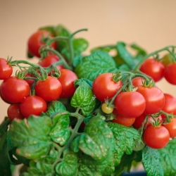 """Tomato """"Balkoni Red F1"""" - for balcony cultivation"""