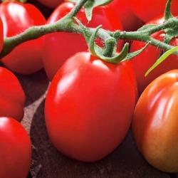Dwarf field tomato 'Chrobry' - medium late, extremely productive variety