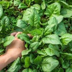 Spinach 'Winter Giant' - 500 g