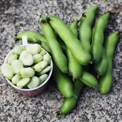 Broad Bean Bartek seeds - Vicia faba
