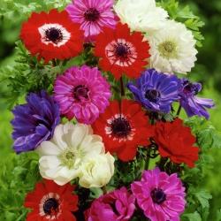 Dupla anemone - színválaszték - 40 db; mák anemone, windflower -