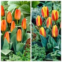 Cammello - set of 2 tulip varieties - 40 pcs.