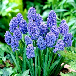 Muscari Blue Spike - Grape Hyacinth Blue Spike - 10 bulbs
