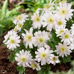 """Anemona balcanică """"Splendor alb"""" - pachet mare - 80 buc; Floarea de vânt grecească, floarea de vânt de iarnă -"""