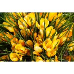 Sáfrány Golden Yellow - csomag 10 darab - Crocus Golden Yellow
