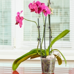 """گلدان ارکیده شفاف """"Amazone"""" - 15 سانتی متر پوند -"""