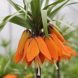 Sada 3 - oranžová korunka - 5 ks; cisárska fritillary, Kaiserova koruna -