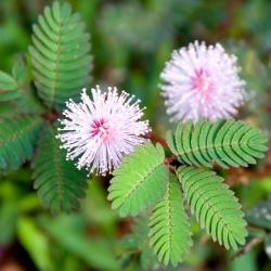 Mimosa, hạt giống cây nhạy cảm - Mimosa pudica - 34 hạt