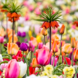 Orange crown imperial  and a tulip mix – 18 piece set