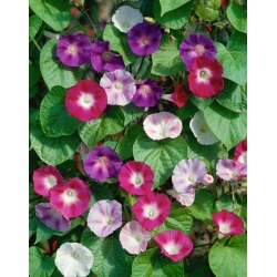 """Home Garden - Picotee morning glory """"Early Call"""" - for indoor and balcony cultivation; ivy morning glory, japanese morning glory - 40 seeds"""