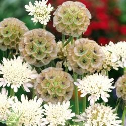 Starflower Pincushion seeds - Scabiosa stellata - 25 seeds