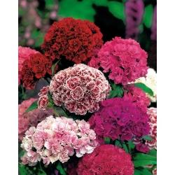 "Dwarf Sweet William ""Pinocchio"" - double-flowered varieties' mix - 405 seeds"