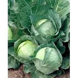 Peakapsas - Roem van Enkhuizen 2 - valge - 400 seemned - Brassica oleracea convar. capitata var. alba
