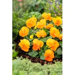 Pansy Orange Sun seeds - Viola x wittrockiana - 320 biji - benih