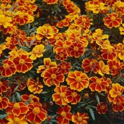 Madal peiulill - Red Marietta - 350 seemned - Tagetes patula L.