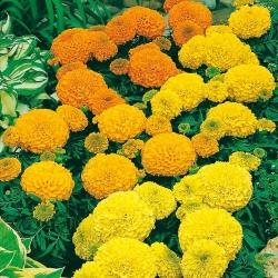 القطيفة المكسيكية - مزيج من الأصناف القزمية ؛ أزتيك القطيفة - 135 البذور - Tagetes erecta - ابذرة