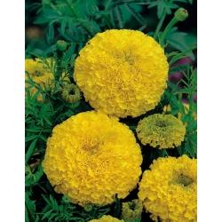 القطيفة المكسيكية - متنوعة الصفراء الذهبية. أزتيك القطيفة - 270 البذور - Tagetes erecta - ابذرة