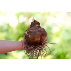 Hipeastrum - Amaryllis trắng - củ giống GIANT - Hippeastrum