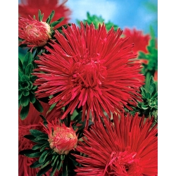 Kerti őszirózsa - piros - 500 magok - Callistephus chinensis