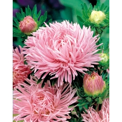 Pink needle petal china aster, Annual aster - 500 seeds
