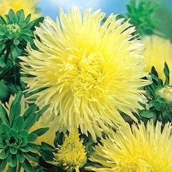 Yellow needle petal china aster, Annual aster - 500 seeds