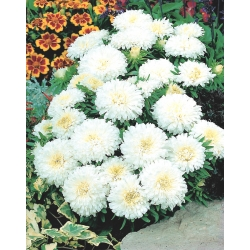"""Dwarf aster """"Queen of the Snow"""" - 450 seeds"""