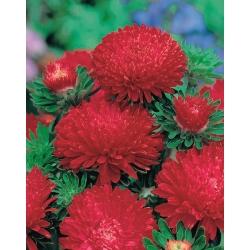 أحمر طويل القامة الفاوانيا أستر - 500 البذور - Callistephus chinensis - ابذرة