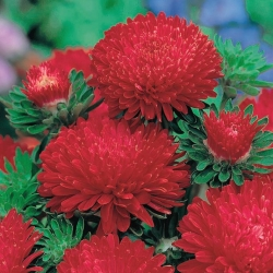 Red tall peony aster - 500 seeds