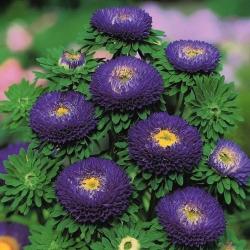 Blue pompom-flowered aster - 500 seeds