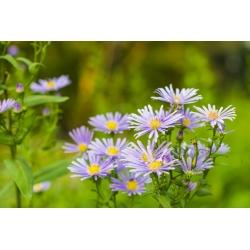 Euroopa Michaelmas-daisy - lavendli sinine, pikaajaline lilled - 120 seemnet - Aster amellus - seemned