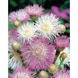 American Basketflower, American Star-Thistle seeds - Centaurea americana - 65 semillas