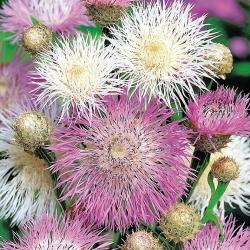 American Basketflower, ameriška semena Star-Thistle - Centaurea americana - 65 semen
